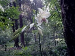森の山百合が咲き始めました。夏の花の女王。