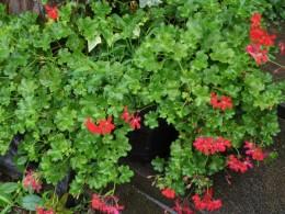 テラスベコニア。花屋さんでお買い得品で買った小さな苗も愛情掛けると、のびのびの大きくなりますね。人間も同じかな?