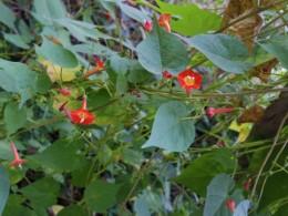 小さな赤い花をつける蔓ですが、名前が調べても分かりません。どなたか、知っていますか?