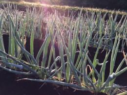 朝の森の散歩。葱に朝露が。