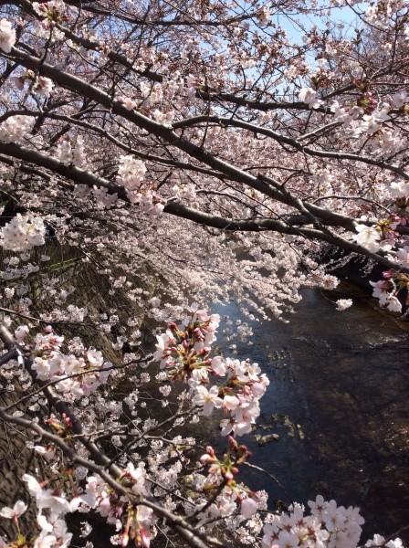土手に下がる桜は、見事。