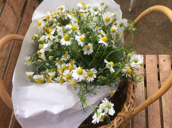 カモミールの花束。