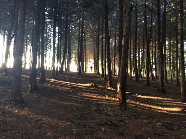 今日は5時に起きてしまったので、すぐに散歩に出る。 ヒノキ林の朝日。