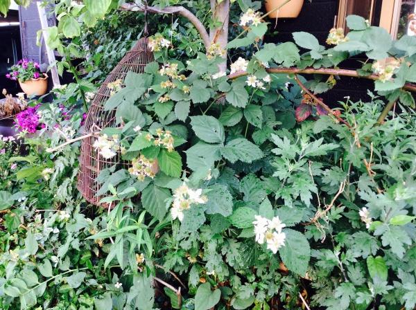 ブラックベリーの花も咲き出しました。今年も沢山収穫出来るかな?