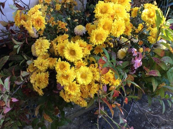 明日からの広尾個展に活けますよ。 花屋さんの菊と違い乱れている所が好きです。