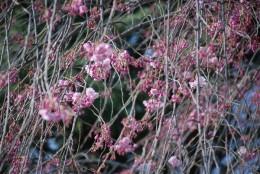 枝垂桜は2分咲きですね。