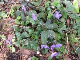 野の花スミレ