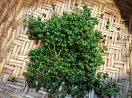 邪馬渓の山椒の実