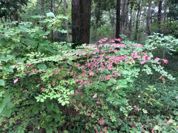 ニシキギも紅葉してきました。