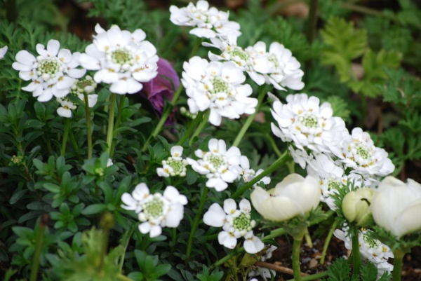 イベリスが咲き始めました。 白い花って清楚で大好き!