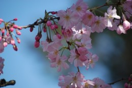 オモイガワ。 栃木県小山市から植えられました。 小山市には思川を言うところがあります。 うす優しいピンク色。