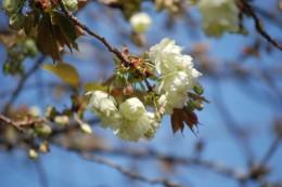 オオシマサクラ。 うすいクリーム色の花を咲かせます。 毎年この桜わ咲くのを楽しみにしている方が沢山いらっしゃいます。