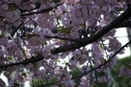 八重桜ではありません。みんなで名前が分からないので、コデマリ桜と呼んでいます。 鶯がいっぱいいます。