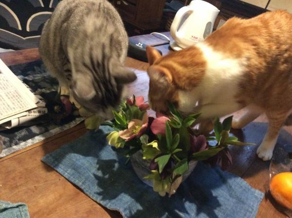 でも2匹の猫が、何故か、活けたクリスマスローズのグラスに顔をつ込んで、バラバラにしてしまいました。 何度、活け直してもダメ。