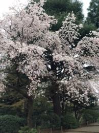 古河邸の八重桜。