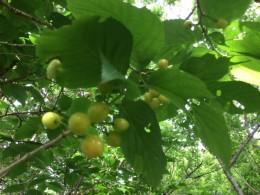 サクランボ。 上の方の赤い実は殆ど鳥が食べています。 鳥になりたいな。