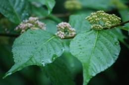 ムラサキシキブの花。 庭に咲いているのはコムラサキシキブです。