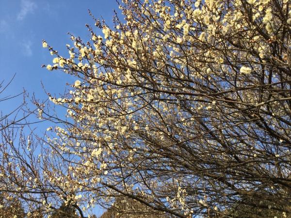 大寒が過ぎてそこまで春が。