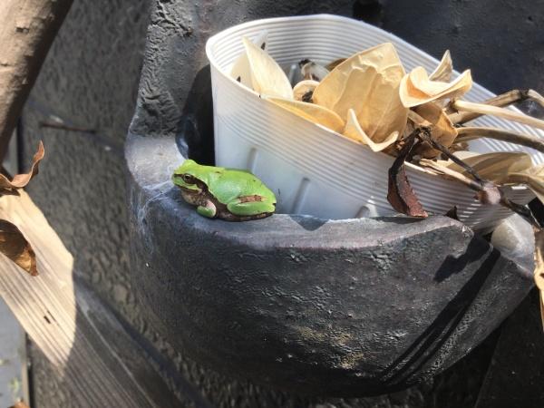 昨年、伊勢原の田んぼで捕まえた青カエルを庭に逃がしたところ生きていたのです。 びっくり‼️