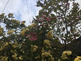 ハナミズキの木が僅かに。重いよーと悲鳴をあげています。