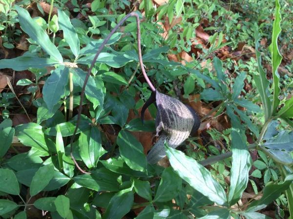 ウラシマソウ。 浦島太郎が釣り糸を垂れているのに似ているので、この名前がつけられた。 テンナンショウ科