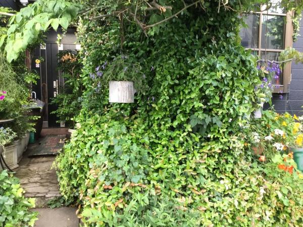 緑の壁になってしまったハツユキカズラ。