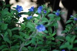 アメリカンブルー。 どうも私はブルー系の花が好きなようです。
