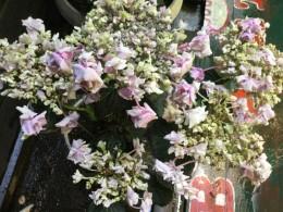 水枯れの鉢植え紫陽花。元気になるかな。