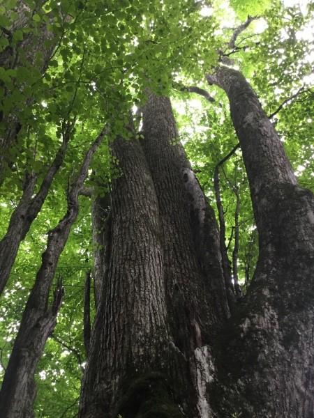 樹齢推定370年の桂の木。