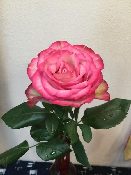 アフリカの薔薇5日目。