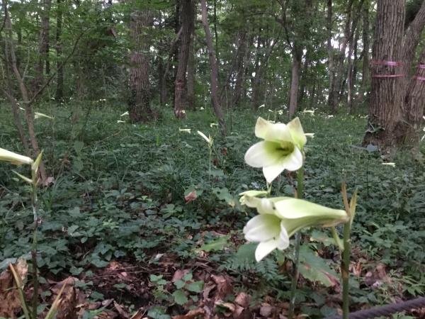 ウバユリ今、満開。 森の中が良い芳香を放っています。