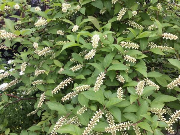 リョウブの花。何故か漢字で令法と書きます。 そう令和の令です。 茶花。 お茶の先生をしていた母が植えた木です。