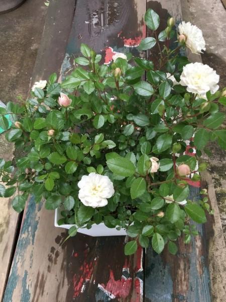 昨日お客様から送られて来た、グリーンアイスという薔薇。 ご存知ですか。 今、白い花が、黄緑に変わり、ピンク色で赤の縁取りに変わっていくそうです。 大事に育てます。