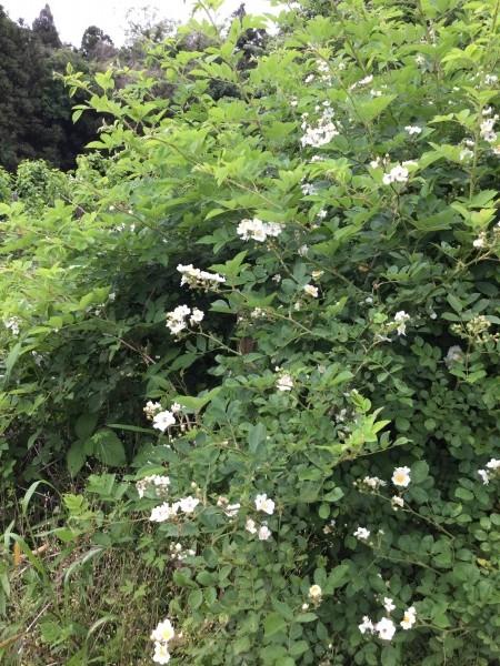 野ばら。薔薇の原種ですね。