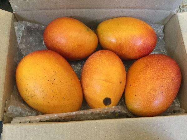 採りたてマンゴーを持って来てくれました