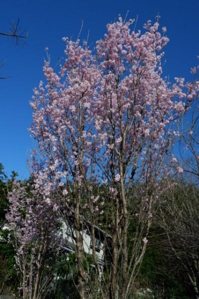 ゴン桜。 9年前に、友人のゴールデンリトリバーが9歳で急死した。 ゴンは、私のことを、恋人の様に慕っていた。 私を森で見つけると、嬉しくてすっ飛んで来た。 ゴンが亡くなった時、大好きだった森の広場に、小さな「啓翁桜」の苗を植えた。 9年が経ち、大きく成長しました。 散歩の人が、綺麗だねと見上げていきます。