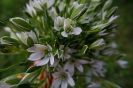オオニソガラム又は大アマナ。白い清楚な花ですが実は毒性を持っています。