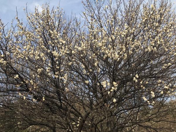 毎年12月に咲く早咲きの梅。