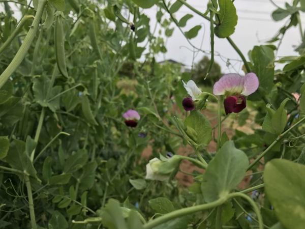 スナックいんげんの花
